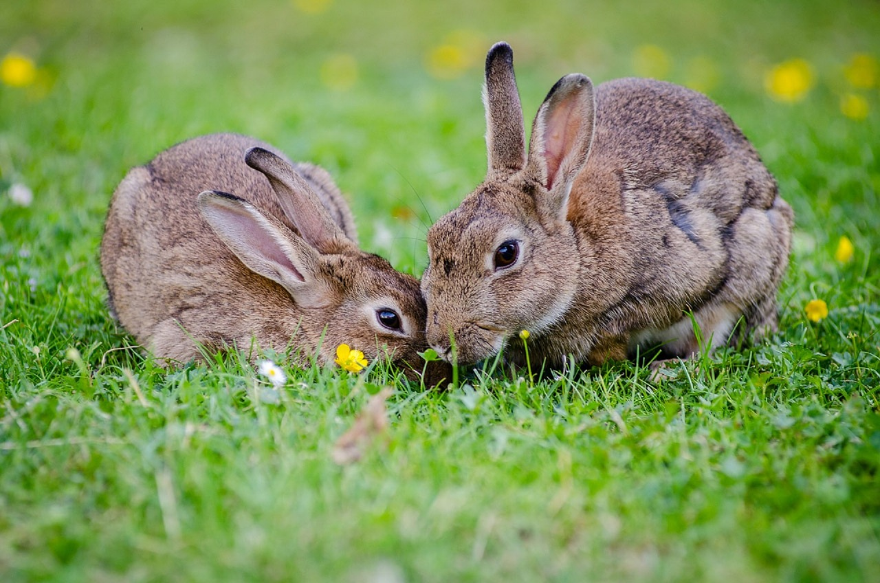 Infectious diseases of rabbits